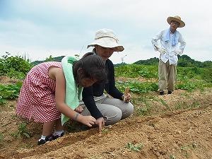 ごぼうの種まき1