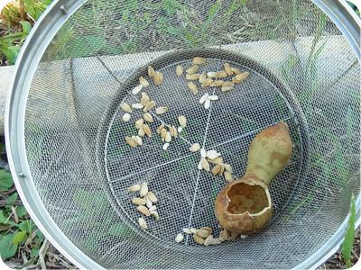 ひょうたんの種取