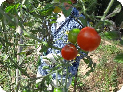 ミニトマト収穫その2