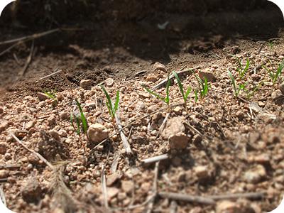 ホウレン草の芽