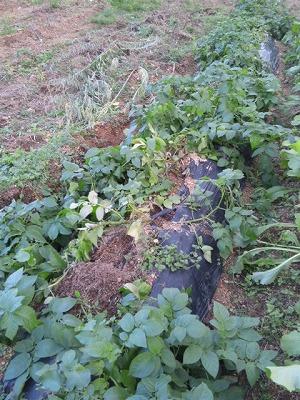 ジャガイモ畝イノシシ跡