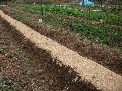 ニンニク畝 籾殻マルチ