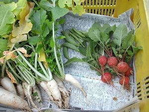収穫3 はつか大根・エンドウ豆