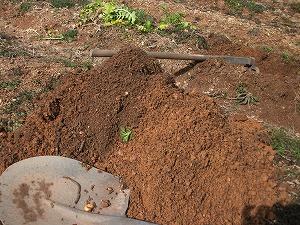 大根を畑で保存