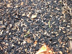 ほうれん草の芽 燻炭マルチ