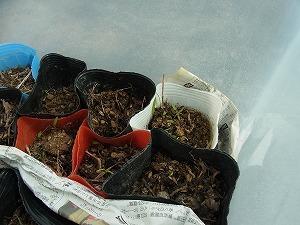 とうがらし苗の芽