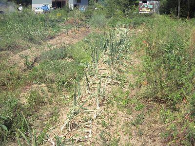 収穫を待つ玉ねぎ(肥料あり)