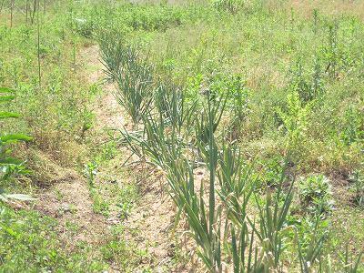 収穫を待つ玉ねぎ(肥料なし)