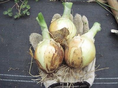 玉ねぎ初収穫