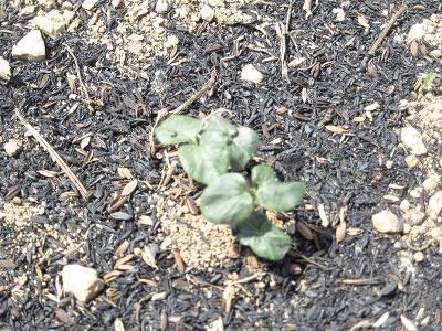 芽を出したオクラ