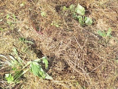さつまいも葉を出して草マルチ