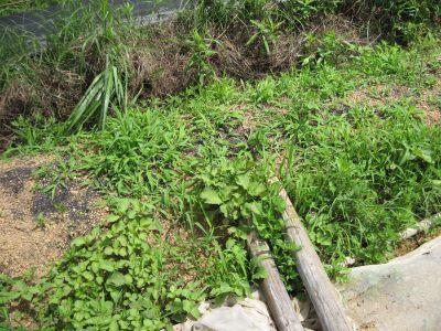 落ちた種から芽を出したオオバ