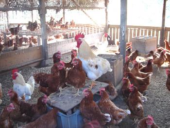 堀田聖平飼鶏舎2008年12月